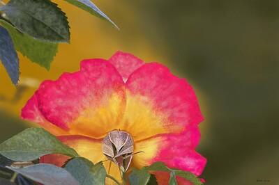 Alpine Rose19