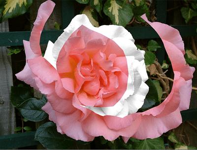rose-cut1